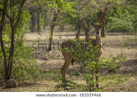Young spotted deer Chital hiding behind spring bushes in Ranthambore park in Rajasthan India - stock photo