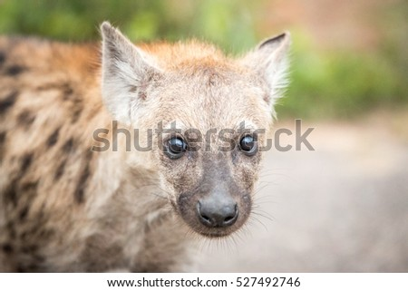 Young Spotted hyena in the Kruger National Park, South Africa.
