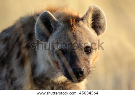 Young spotted hyena with sunrise reflection in its eyes, Etosha NP, Namibia, Southern Africa
