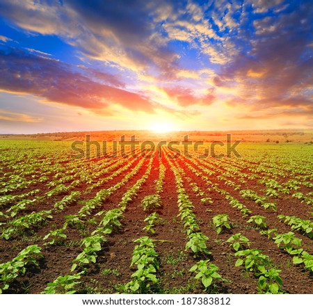 young spouts on field against sunset background - stock photo