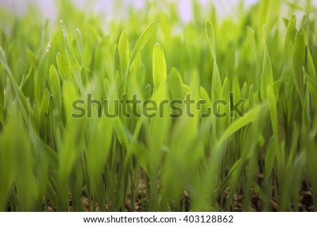 Young Spring Grass. Fresh natural Green Grass close-up with blurred background. Eco concept. Pure Nature. Wheat Seeds. Germination of Wheat, Growing, Agriculture. Spring landing - stock photo