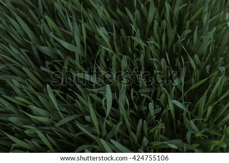 Young Spring Grass. Fresh natural Green Grass close-up with blurred dark background. Pure Nature. Wheat Seeds. Germination of Wheat, Growing, Agriculture. Spring landing. - stock photo