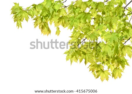 Young spring maple twigs with leaves on a white background. Several twigs of young green leaves. Spring.