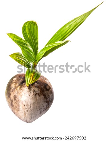 Young sprout of coconut of a coconut fruit over white background - stock photo
