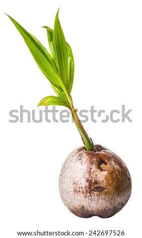 Young sprout of coconut of a coconut fruit over white background