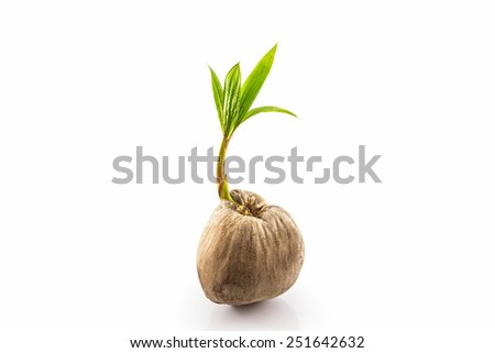 Young sprout of coconut tree grown-up on white background.  - stock photo