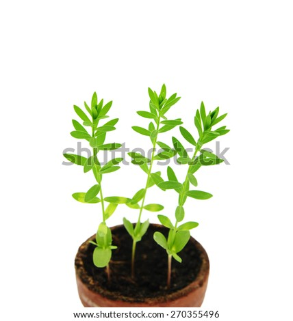 Young sprouts of flax (lat. Linum usitatissimum) in pot. - stock photo