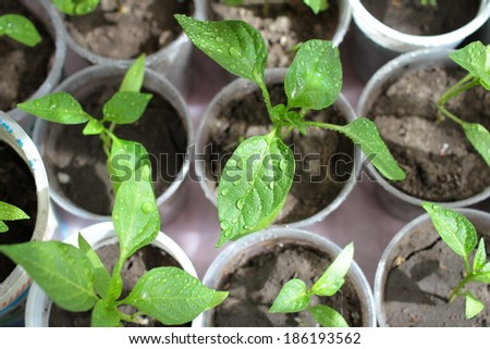 Young sprouts peppers and dew drops. - stock photo