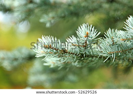 young spruce - stock photo