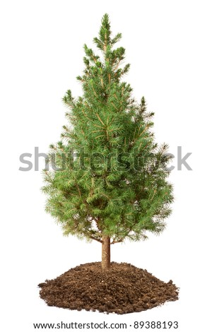 Young Spruce (Picea glauca Conica). Isolated on a white. - stock photo