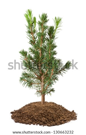 Young spruce sapling. Isolated on a white. - stock photo