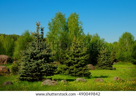 young spruces in the park, summer day