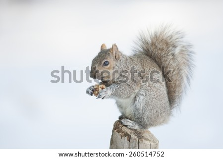 Young Squirrel Isolated Eating - stock photo
