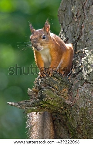 Young squirrel sitting on the tree. Eurasian red squirrel (Sciurus vulgaris). - stock photo