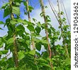 Young stalks of a string bean on poles - stock photo