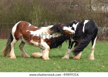 young stallions playing around - stock photo