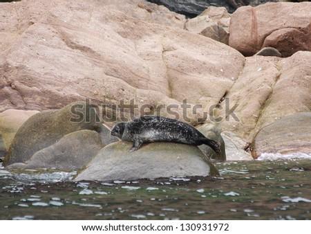Young Steller Sea Lion on rocks in Cape Breton Highlands National Park, Nova Scotia, Canada - stock photo