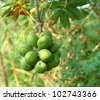 Young sterculiaceae fruit on tree,  (Biodiesel) - stock photo