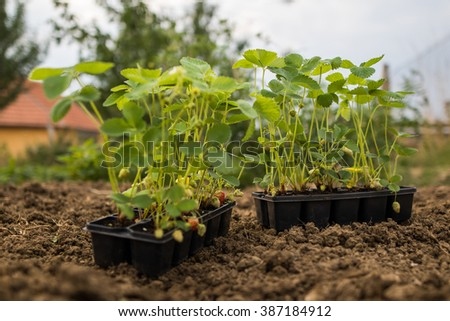 Young Strawberries Seedlings in Plastic Pot in Garden Beds