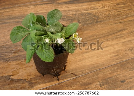 Young strawberry plant with new buds and flowers in a biodegradable pot sitting on a deck waiting to be planted in the garden. - stock photo