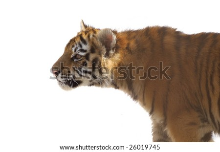 young striped tiger cub - stock photo