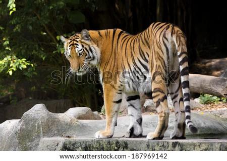 young sumatran tiger - stock photo
