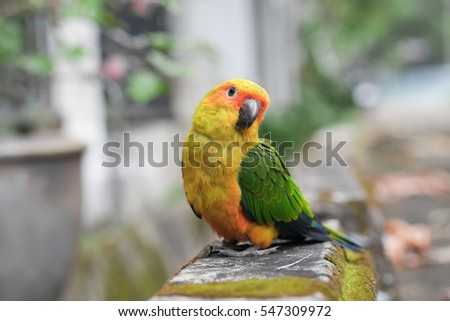 Young Sun Conure parrot standing on the ground - Soft Focus