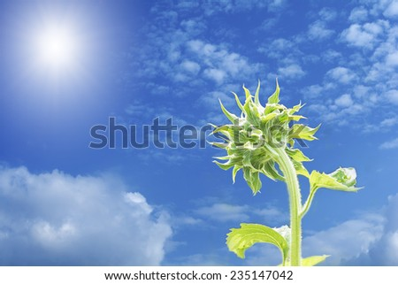 young sunflower buds enjoy with sunlight in the morning - stock photo