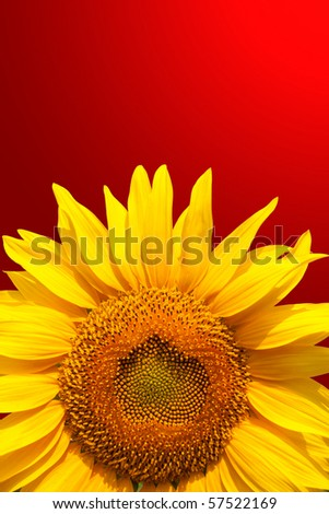 Young sunflower head. Close-up view - stock photo