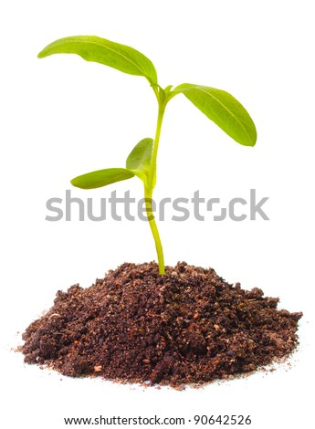 Young sunflower seedling growing in a soil. - stock photo