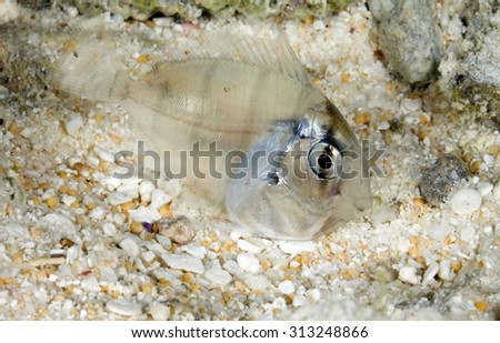YOUNG SURGEONFISH SWIMMING CLOSE TO SAND BOTTOM DURING NIGHT