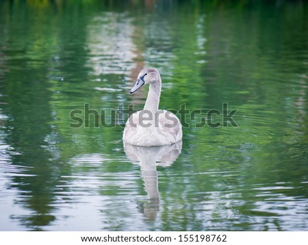 young swan - stock photo