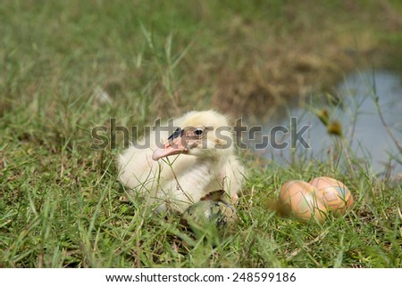 Young swan bird with easter egg. - stock photo