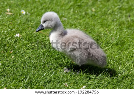 Young swan (cygnet) walking in the grass - stock photo