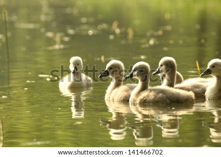 Young swans in a forest pond at dusk. - stock photo