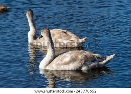young swans in the lake