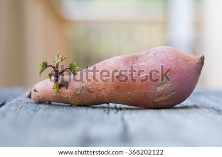 Young sweet potato sprout. - stock photo