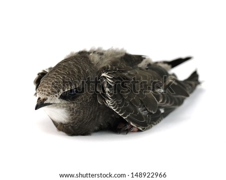 Young swift bird isolated on a white background.   - stock photo
