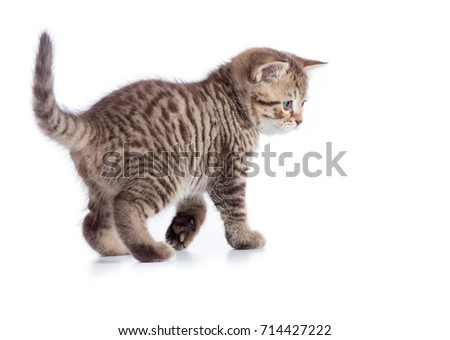 Young tabby cat side view. Walking kitten isolated on white