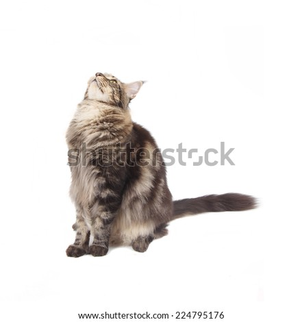 Young tabby Maine Coon cat isolated on white background
