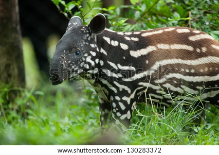 Young Tapir - stock photo