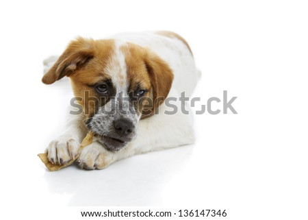 Young terrier dog eating rawhide treat over white background. - stock photo