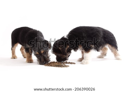 Young Terrier Mix dogs eating food in front of a white background - stock photo