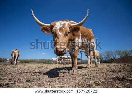 Young Texas Longhorn Cow with white and brown markings (right 3/4 front view) - stock photo