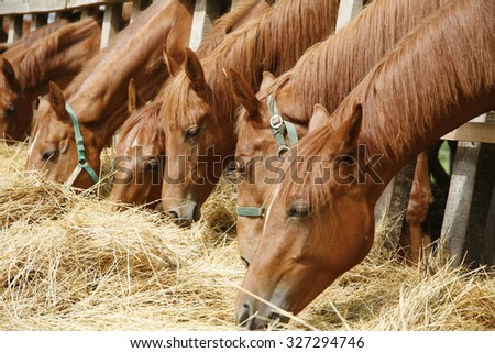 Young thoroughbred horses eating fresh hay between the bars of an old wooden fence. Herd of  horses eating dry hay in the summer stable - stock photo