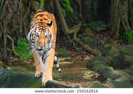 Young tiger walked towards the victim. - stock photo