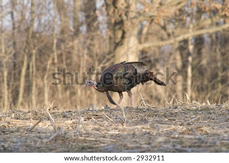 young tom turkey in corn stubble - stock photo