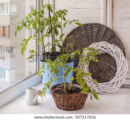 Young tomato plants in containers on a windowsill