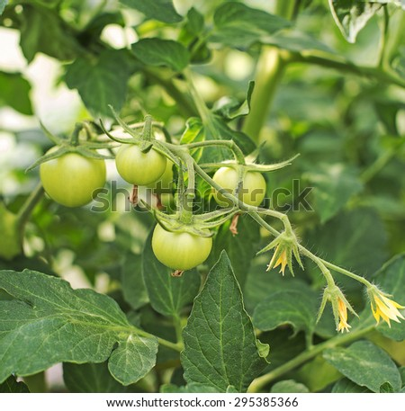 Young tomato plants in greenhouse. - stock photo