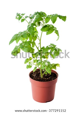 young tomato seedling in pot isolated on white background - stock photo